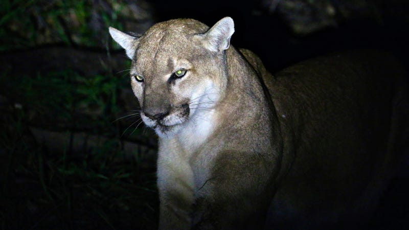 An unrelated mountain lion