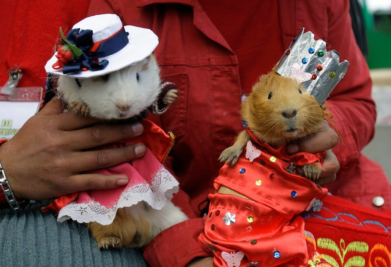 Two unrelated guinea pigs. Photo: AP