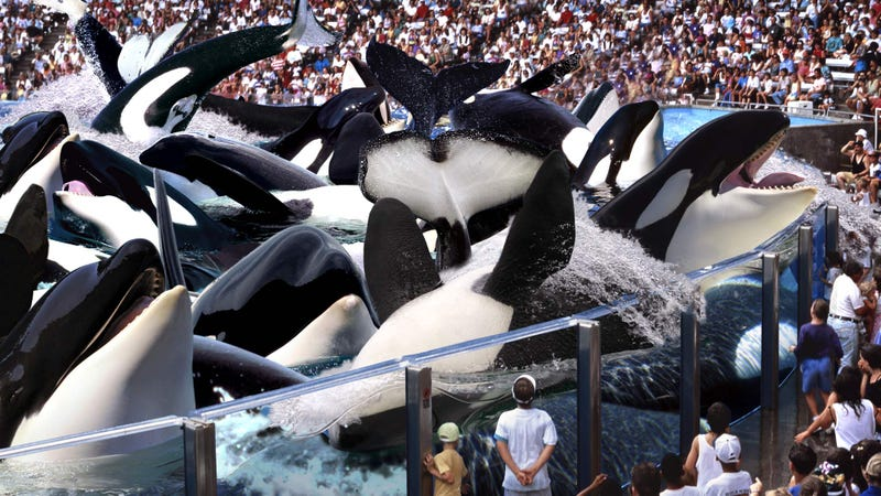 Illustration for article titled SeaWorld Unveils New 20 Whales Stuffed In Pool Show