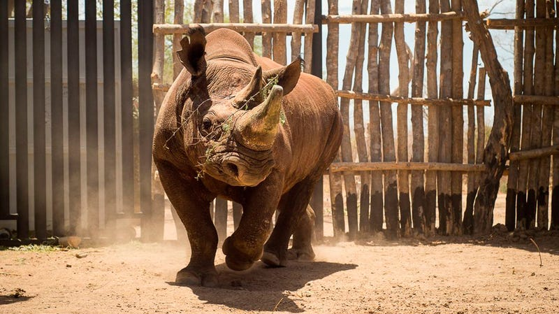 A critically endangered black rhinoceros being released into an enclosure in Zakouma National Park in Chad in 2018.