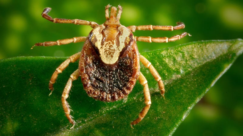 The Cayenne tick, Amblyomma cajennense, can spread Rocky Mountain Spotted Fever.