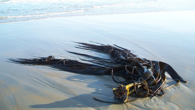 A clump of southern bull kelp discovered on Antarctica's King George Island.