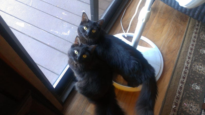 Illustration for article titled You guys!!  We can do multiple pictures in a single post now!  (Also, here's my cats)