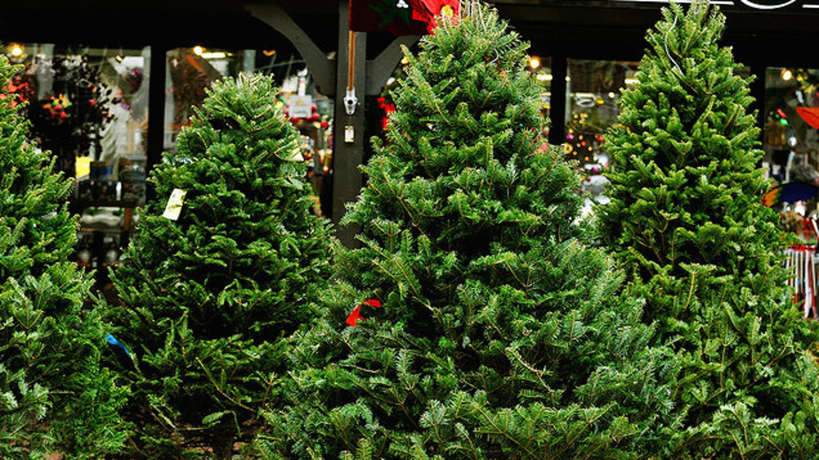 Check Your Christmas Tree Needles Before You Buy To Get A