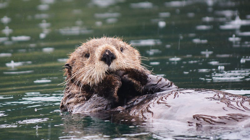10/10 sea otter would buy again.