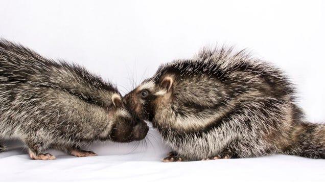 This Monogamous, Poisonous Rat Is Full of Surprises