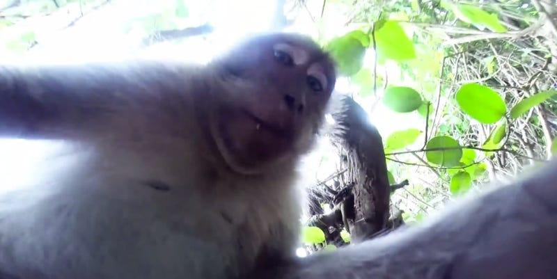 Illustration for article titled Vajon nyerhetne szelfibajnokságot ez a majom?