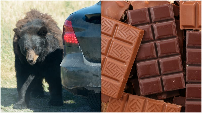 Illustration for article titled Bears bust into car in North Carolina, eat 49 chocolate bars