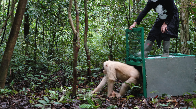 Alba, an albino Bornean orangutan, being released to the wild, on Wednesday December 19, 2018.