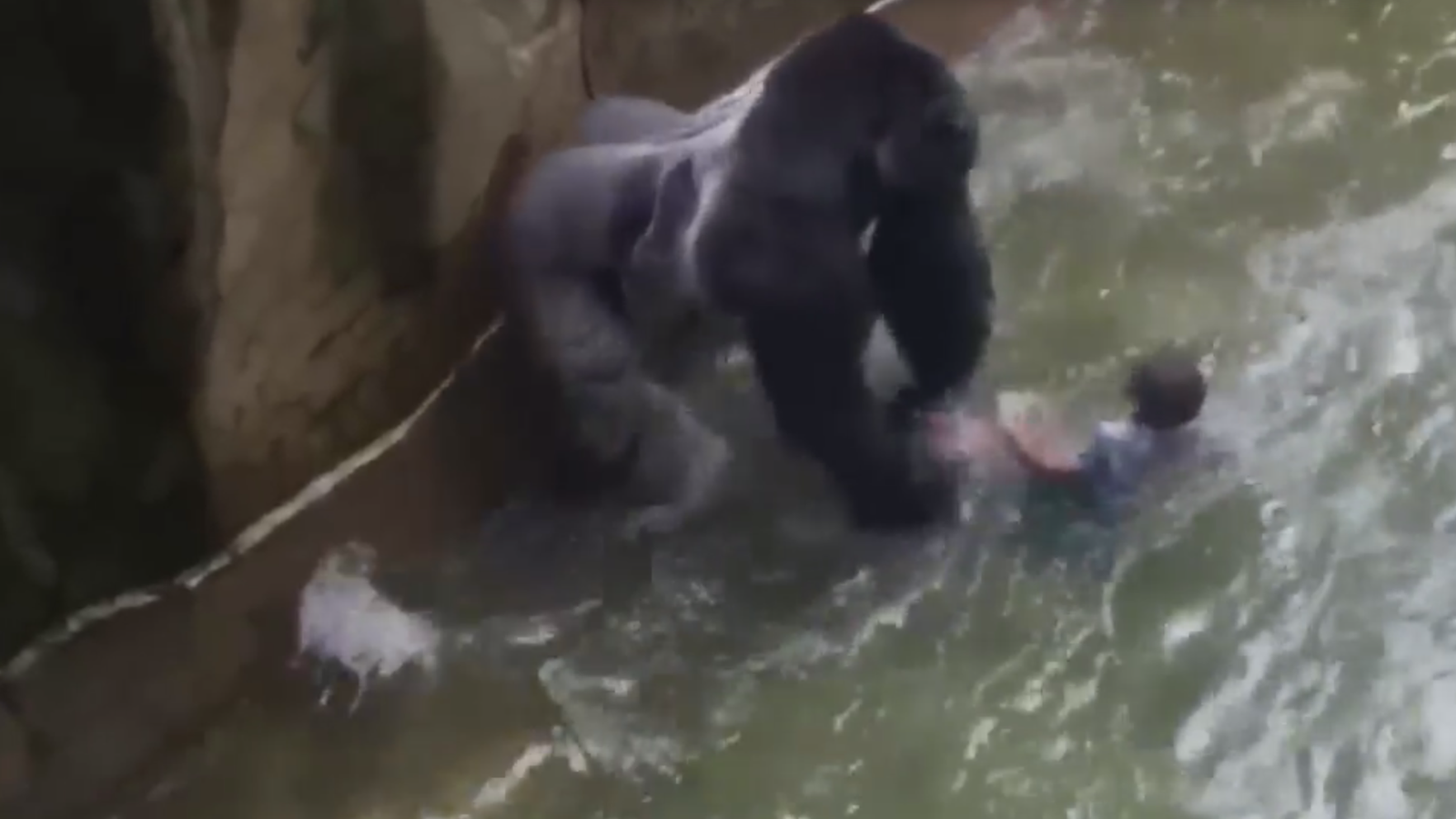 parents of 4 year old boy who fell into gorilla habitat are under