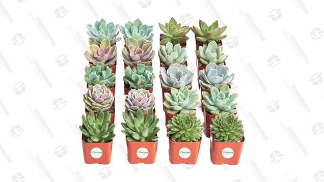 Succulent Plants (20 Pack) | $32 | Amazon