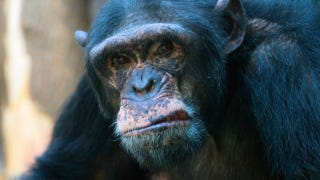 Illustration for article titled When chimps have a midlife crisis