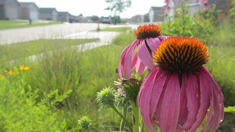 A wildflower garden in suburbia