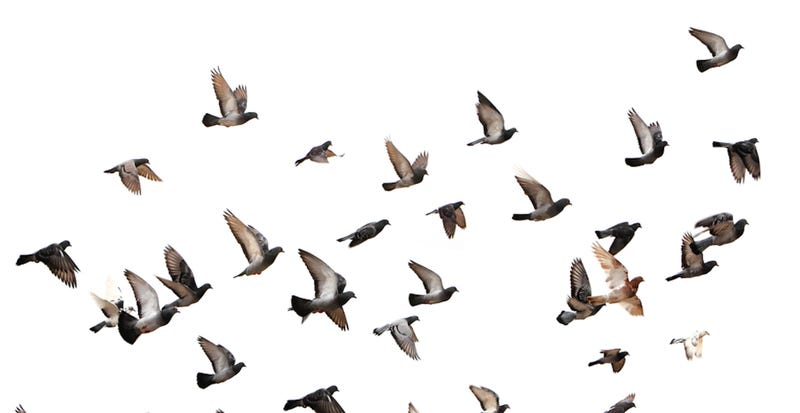 Illustration for article titled Pigeon On The Field
