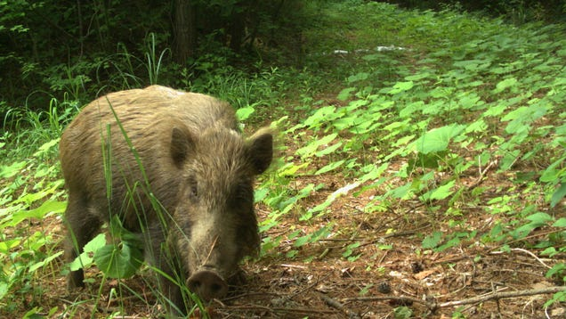 Fukushima s Exclusion Zone Is Being Overtaken by Wild Animals