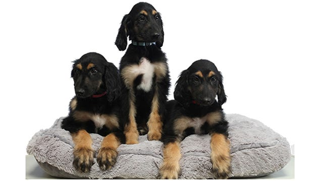 Here s Why Scientists Cloned the First Cloned Dog