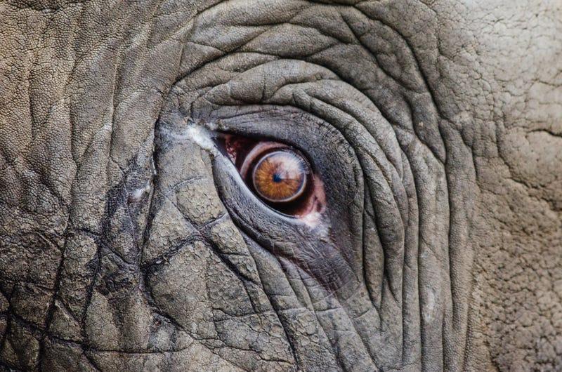 Trump revoca permiso para importar trofeos de elefantes