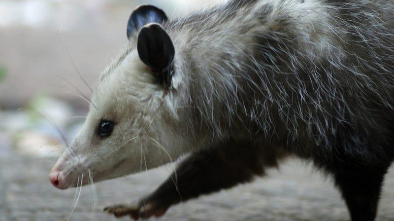 Illustration for article titled Step aside, bodega cats—here is bodega possum