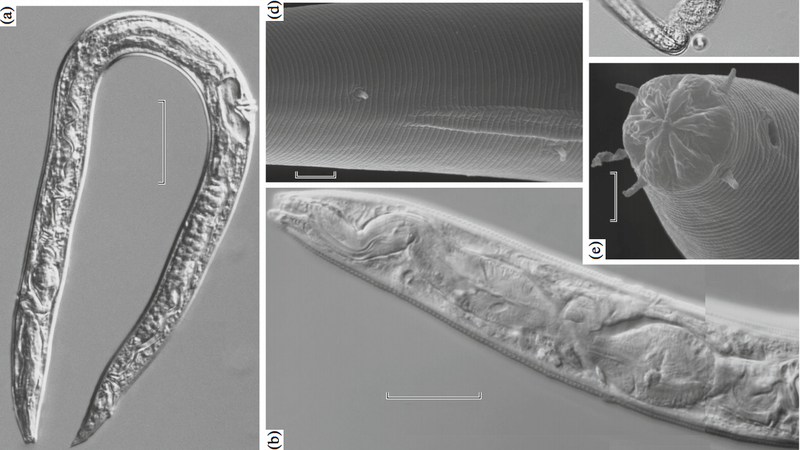 Selected images of the frozen worms said to be recovered from ancient permafrost samples dating back at least 32,000 years ago.