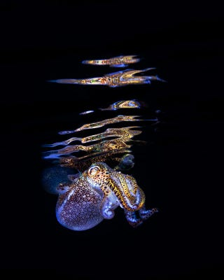 Illustration for article titled Bobtail....Squid? I LOVE IT!
