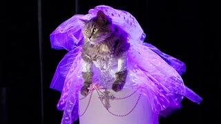 Illustration for article titled Madonna's 1984 'Like A Virgin' Performance, As Reenacted By A Cat