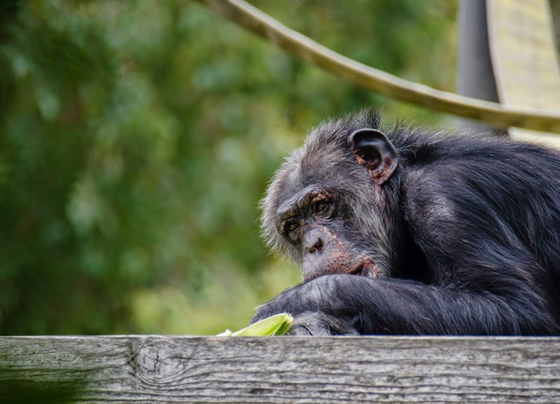 Illustration for article titled Chimps Are Better at Strategic Reasoning Than Humans Are