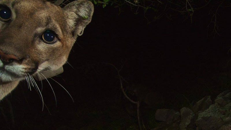 Illustration for article titled Oh Hai! Amazing Photos Capture LA's Newest Baby Mountain Lions