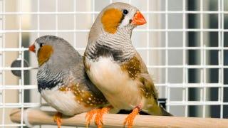 Illustration for article titled Stressed Birds Make Bad Spouses