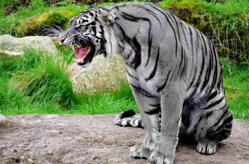 Illustration for article titled Could the mythical blue tiger actually exist?