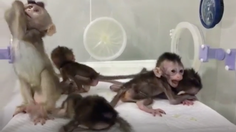 The cloned monkeys