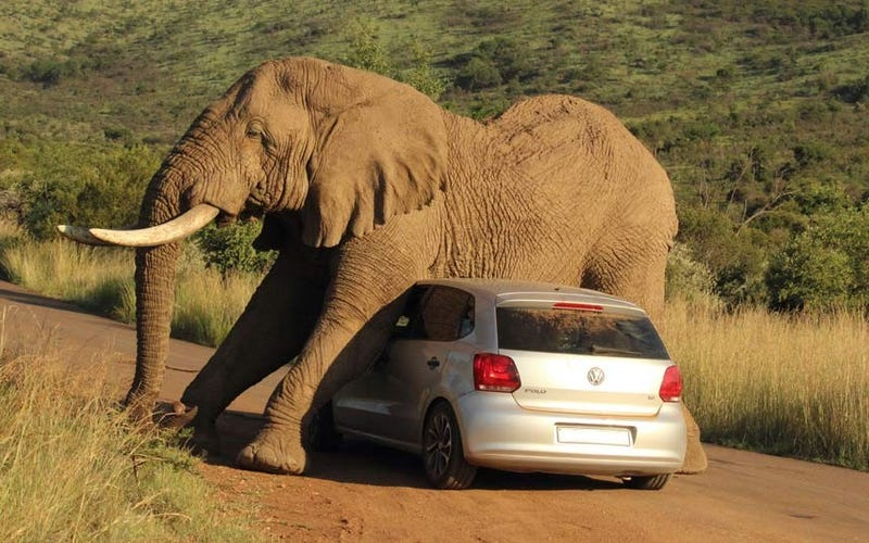 Illustration for article titled Elephant Falls In Love With a VW Polo