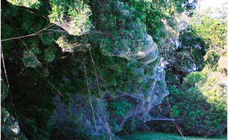 Illustration for article titled Thousands of Spiders Have Teamed Up to Create This Horrifying Mega-Web