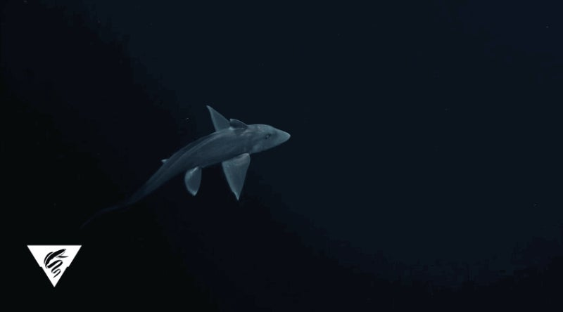 Deep-Sea Ghost Shark Filmed Alive In Ocean For First Time