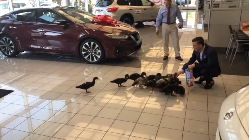 Orlando Car Dealership Adopts Giant Duck Family