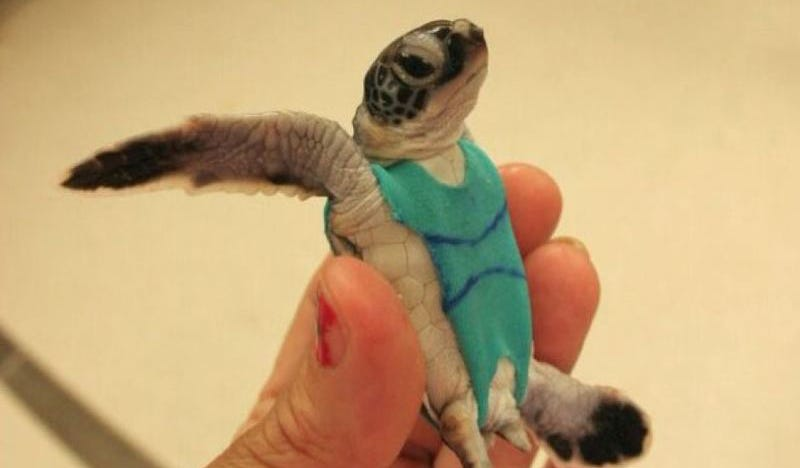 Illustration for article titled Sea Turtle Swimsuits are the Cutest Scientific Research Solution
