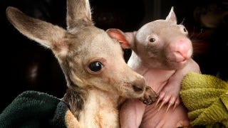 Illustration for article titled This image of an orphaned kangaroo cuddling with an orphaned wombat will melt your heart