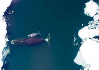 Illustration for article titled Are Warming Arctic Temperatures Spawning New Hybrid Whales?