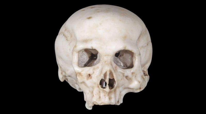 Illustration for article titled World's Oldest Anatomical Model Skull May Be Leonardo Da Vinci's Work