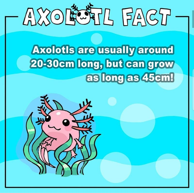 Illustration for article titled Axolotl Facts! 😁
