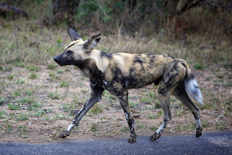 Illustration for article titled Painted Dogs Took Down A Pregnant Impala and Nat Geo Streamed It Live