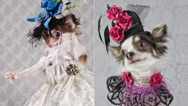 Illustration for article titled Chihuahuas Get All Fancied Up for 'Dog Vogue' Photo Shoot