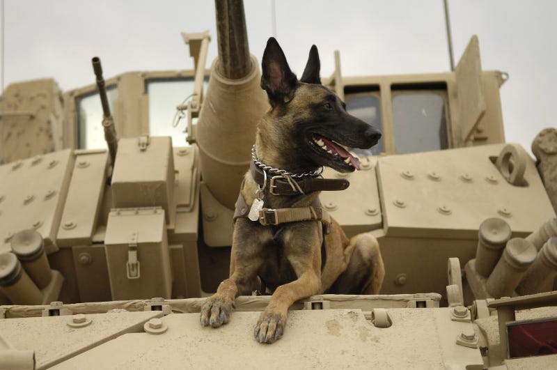 Illustration for article titled El cruel destino de muchos de los perros de guerra de Estados Unidos tras finalizar su servicio