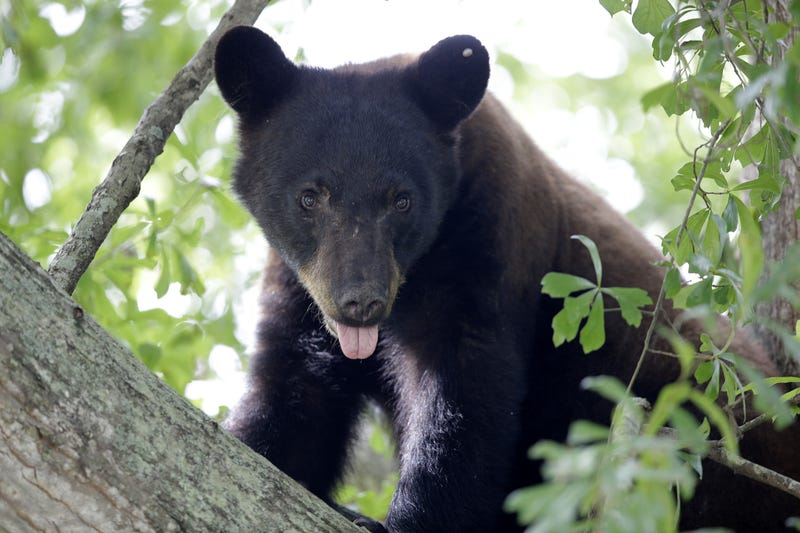 Illustration for article titled Louisiana Black Bear May Soon Be Removed From Endangered Species List