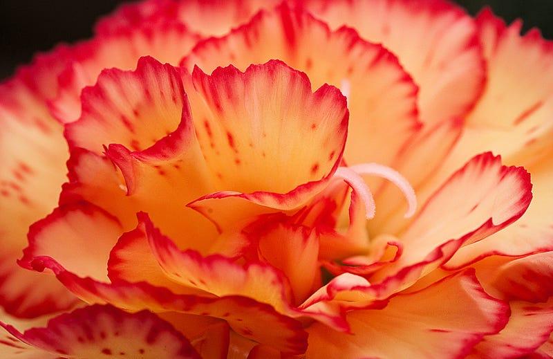 Un clavel rosa y amarillo. Foto: Allan / Flickr