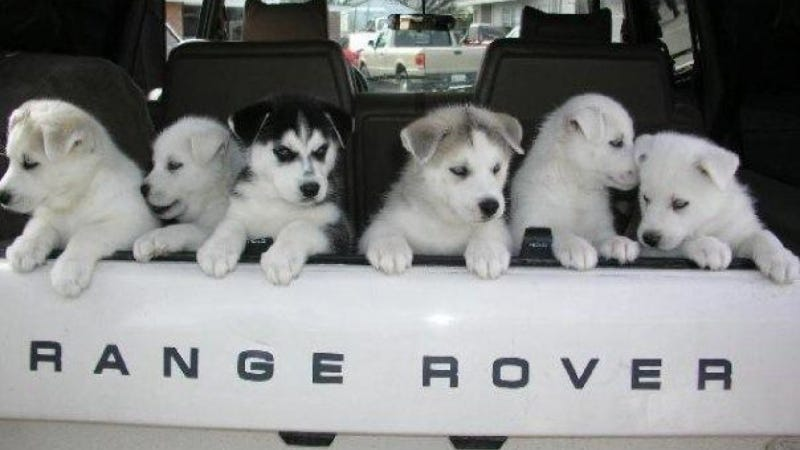 top 12 cutest dogs in land rovers for 39 national love your. Black Bedroom Furniture Sets. Home Design Ideas