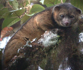 Illustration for article titled Citizen Science Helped Us Understand More About The Adorable Olinguito