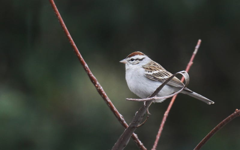Illustration for article titled Chipping Sparrow
