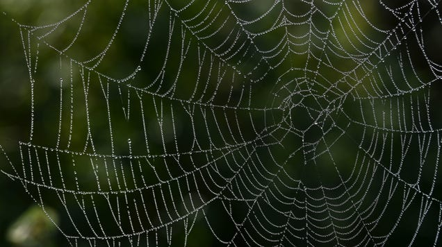 Spiders Weave Intricate Insect-Catching Nets Hugely Bigger Than Themselves