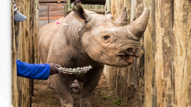 Dammit, Another 4 Critically Endangered Black Rhinos Have Died After Being Relocated
