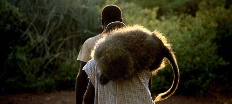 Illustration for article titled Shooting Baboons With Africa's Last Hunter-Gatherers